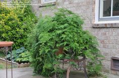 Full size picture of Asparagus Fern, Plumosa Fern