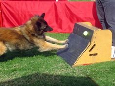 """How to Train Your Dog To Run a Flyball Course - I see """"high speed"""", """"fetch"""" and """"agility,"""" sounds like the perfect competition for a borador like Maisie!"""