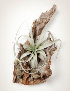 Tillandsia Spruce Mount with Xerographica Air Plant