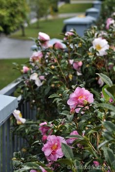 Three varieties of Camellia sasanqua will eventually thicken into a hedge around the fence line: Star above Star, Setsugekka and Jennifer Susan.