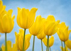 Spring Yellow Tulip Grouping with blue sky by FloatingLeafArts