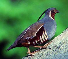 Mountain quail.