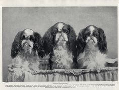 English TOY King Charles Spaniel Three Named Dogs OLD Original 1934 DOG Print | eBay