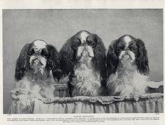 English TOY King Charles Spaniel Three Named Dogs OLD Original 1934 DOG Print | eBay
