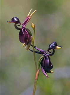 This is an amazing Flying Duck Orchid and it is a small orchid found in eastern and southern Australia. Looks just like a duck to me.