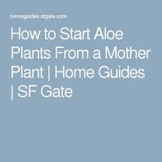 How to Start Aloe Plants From a Mother Plant | Home Guides | SF Gate