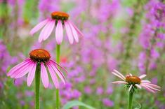 size: Photographic Print: Purple Coneflowers, Marion County, Illinois by Richard and Susan Day : Begonia, Garden Plants, House Plants, Marion County, My Flower, Flowers, Plantar, Botanical Art, Daffodils