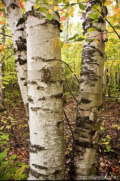 Birch trees stock photo. Like the # of trees and the colours.