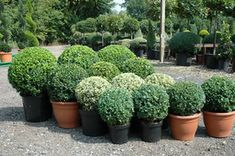 Box ball shapes can be as round as footballs or similar to the London Dome shape. Topiary Box balls are measured and priced by diameter and start at diameter going up to diameter London Garden, Topiary Trees, Balls, Plants, Plant, Planets