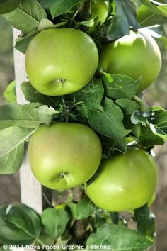 Zuilappelboom 'Greencats'