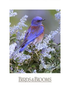 The Western Bluebird is a small thrush. Males:bright blue on top/throat w/orange breast/sides, brown on back, & a gray belly & undertail. Females have dull blue body/wings/&/tail, a gray throat, dull orange breast, gray belly/undertail. Baby Western Bluebirds have spots on their chest/back. Western Bluebird: a blue (male) or gray (female) throat. Eastern Bluebird has an orange throat. Mountain Bluebird has no orange color on its body. N. America. Wikipedia.