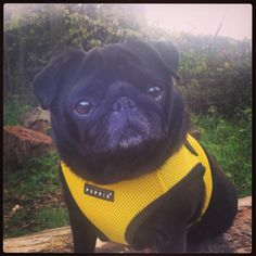 puppia yellow harness vest in sizes s-xxl at www.ilovepugs.co.uk post worldwide