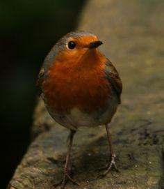 Red Robin closeup