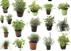 Além de servirem como chás, muitas dessas ervas também podem ser usadas no prato, como condimentos.