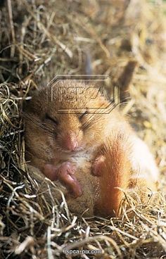 Little sleeping dormouse :)