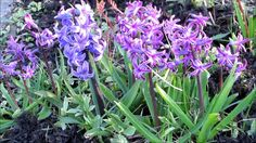 🌷My beautiful colorful spring hyacinth flowers🌷
