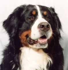 One day I will own a Bernese Mountain dog, except that you never really own dogs. So we'll just be best friends instead. hopes-dreams