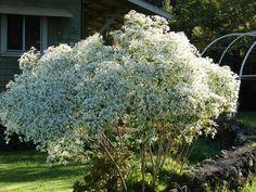 PLANTA TÓXICA, Euphorbia leucocephala, cabeça-de-velho, cabeleira-de-velho,(white-laced euphorbia, snowflake euphorbia TOXIC PLANT)