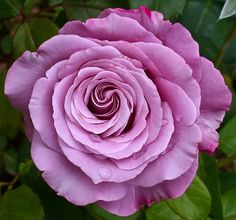 Hybrid Tea rose Neptune. By Cap001 - Dan