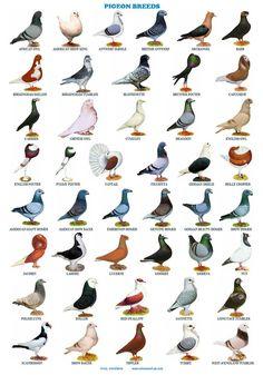 Pigeons 44 Breeds, Homers, Tumblers, Tipplers, Etc Pigeon Nest, Pigeon Cage, Pet Pigeon, Pigeon Bird, Dove Pigeon, Pigeon Loft Design, Pigeon Pictures, Bird Breeds, Pigeon Breeds