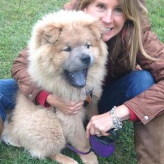 Meet ULI, a Petfinder adoptable Chow Chow Dog   Dix Hills, NY   Uli is up for ADOPTION!  He is now 1.5 years old and needs a chow owner who is familiar with the...