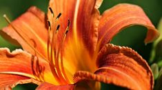 Day Lily / Vibrant Closeup Image of a Deep Orange by PhotoClique