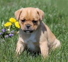 Pug and Jack Russell Terrier Jug Pug Mixed Breeds, Baby Pugs, Jack Russell Terrier, Mans Best Friend, Cute Baby Animals, Cute Puppies, Cute Babies, Labrador Retriever, Future