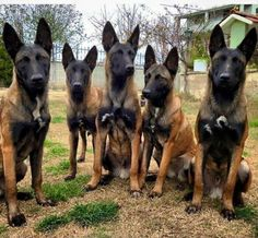 Photo of Malinois nation. - Cartoon Videos Kids For 2019 Military Working Dogs, Military Dogs, Police Dogs, Berger Malinois, Belgian Malinois Puppies, German Malinois, Malinois Shepherd, Belgian Shepherd, German Shepherd Dogs
