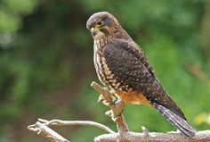 New Zealand falcon or kārearea (Falco novaeseelandiae)