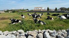Living in #menorca Menorca, Animals, Islands, Beach, Animais, Animales, Animaux, Animal, Dieren