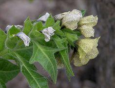 500 Black Henbane Seeds Hyoscyamus Niger wiccan herb