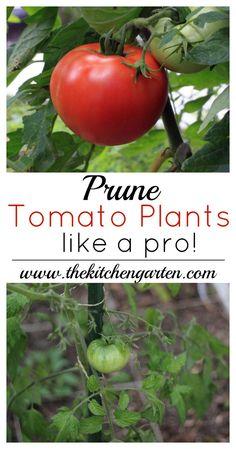 prune tomato plants