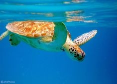will be swimming with the wild sea turtles in St. Thomas, Virgin Islands at Turtle Cove in 2013!! :)