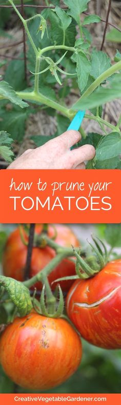 Do your tomato plants grow huge and out of control each year? Do they flop over, get taken over by disease or overwhelm parts of your garden? Do you want bigger tomatoes earlier in the season? If you answered yes to any of these questions then pruning your tomatoes should be on your garden task list this season. #GardeningTips