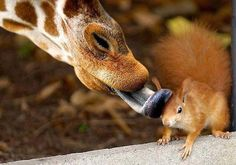 Squirrel: It's not meant to be bro! Giraffe: dude, chill you have a cow lick. Squirrel: aaaand nooow I have a giraffe lick! Baby Animals, Funny Animals, Cute Animals, Wild Animals, Animals Kissing, Small Animals, Unique Animals, Wildlife Photography, Animal Photography