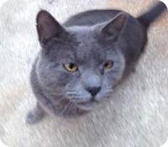 Medford, NJ - Russian Blue. Meet Specter (Vince's cat), a cat for adoption. http://www.adoptapet.com/pet/12969121-medford-new-jersey-cat