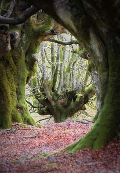 Trees seen through gnarled tree tunnel Beautiful World, Beautiful Places, Beautiful Pictures, Tree Tunnel, Tree Forest, Magic Forest, Dark Forest, Belle Photo, Amazing Nature