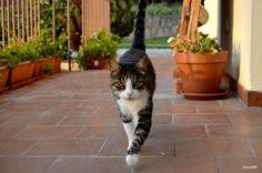 The elegance of a cat. #cat #kitty #gato #JFox