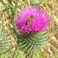 scotch thistle flower with bee - photo by me