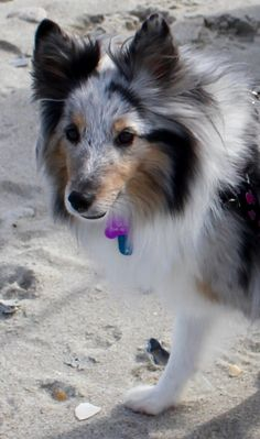 Sheltie at the beach