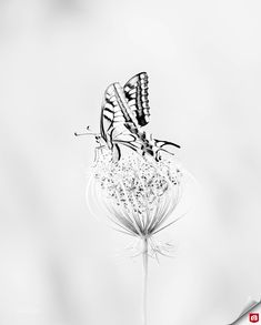 Deze high-key bewerkte foto van de koninginnenpage toont het mooie contrast in de vleugels van de vlinder. 😍🦋 Gefeliciteerd luciadedycker met deze Foto van de Dag! 🏆 Abstract, Artwork, Photos, Summary, Work Of Art