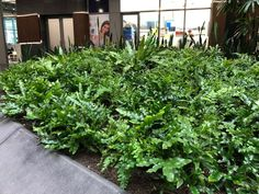 Microsorum diversifolium has been put to good use in an indoor atrium with low light conditions.