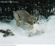 Lynx catching Snowshoe Hare.   Photo by Edward Cesar