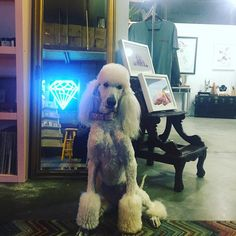 Shop is open! Come visit 'til 4! Get your holiday shopping done locally. #pearlthepoodle #shopdog #vegas #makers #doityourselfer