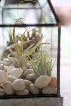 air plants in a mini terrarium - simple to create, almost no maintenance and looks amazing