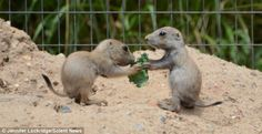 Two of the Prairie Dog siblings share a piece of food as they enjoy lunch in the Baltimore Zoo