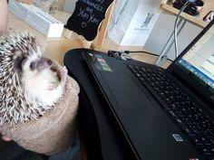 Hedgehog Reggie the hedgie checking emails