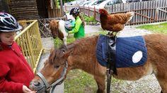 #funnychicken Chicken Humor, Horses, Kids, Animals, Animais, Children, Animales, Animaux, Animal