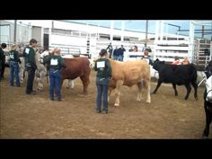 4 H Beef Showmanship - YouTube