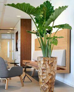 Elephant Ear Plant, Elephant Ears, Indoor Trees, Indoor Plants, Diy Home Decor, Room Decor, Decoration Plante, Inside Plants, House Plants Decor